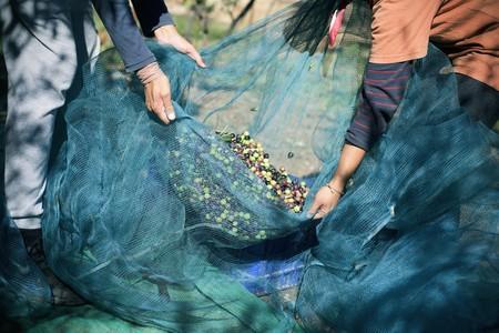 fase 1: raccolta delle olive