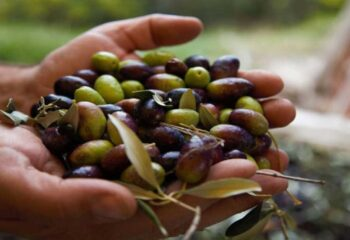 Come Fare l'Olio d'Oliva: le 7 Fasi di Produzione