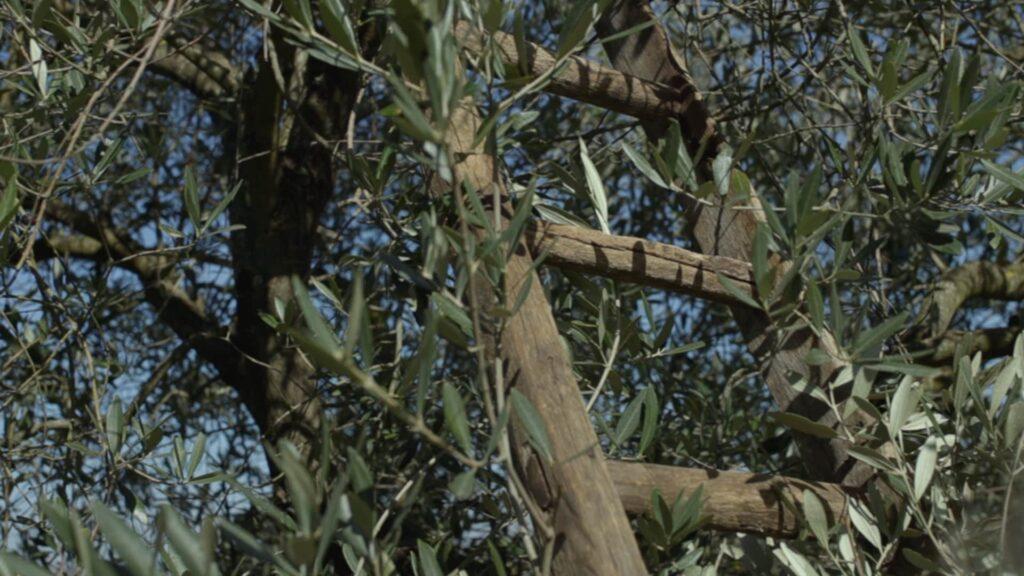 la raccolta delle olive in Contedoro